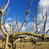 The leafless branches of an elder bush on a sunny winter day Stock Photo