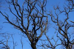 Leafless branches of Robinia pseudoacacia against blue sky. Leafless branches of Robinia pseudoacacia against the sky Stock Images