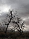 Leafless Cottonwoods Royalty Free Stock Image