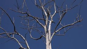 Leafless Crown of Dry Tree against Clear Blue Sky. Shot with a Sony RX10 IV 59,94 fps FHD stock video footage