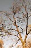 Leafless Eiken Boom tegen Donkere Hemel Royalty-vrije Stock Afbeeldingen