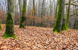 Leafless forest in autumn. Moss on tree trunks and weathered foliage on the ground Royalty Free Stock Photography