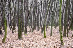 Leafless forest with moss-grown tree trunks Royalty Free Stock Image