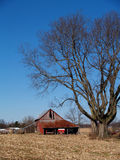 Leafless Maple Tree Next to an Old Barn. Large leafless maple tree next to an old barn in front of a harvested corn field Stock Photography