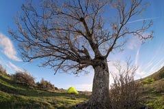Leafless Oak Tree Against Blue Sky In Nebrodi Park, Sicily stock photo