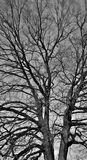 Leafless Oak tree. In winter black and white Stock Images