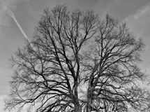 Leafless Oak tree. In winter black and white Royalty Free Stock Images