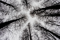 Leafless pine trees Royalty Free Stock Images