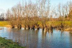 Leafless pollard willow trees in a flooded landscape. Bare pollard willow trees in a flooded landscape next to a Dutch dike. It it in the late afternoon of a Stock Photography