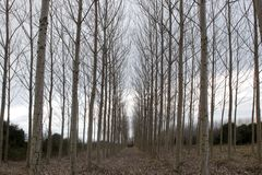 Leafless poplar trees in the winter. A woody perennial plant, typically having a single stem or trunk growing to a considerable height and bearing lateral stock photography