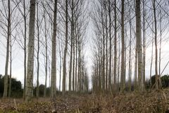 Leafless poplar trees in the winter. A woody perennial plant, typically having a single stem or trunk growing to a considerable height and bearing lateral royalty free stock images