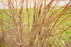 Leafless shrub Royalty Free Stock Image