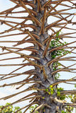 Leafless suikerpalm, Stock Afbeelding