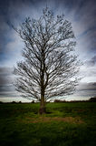 Leafless sycamore Royalty Free Stock Photo
