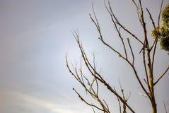 Leafless takken van een doodseucalyptus royalty-vrije stock afbeelding