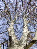 Leafless tree. The genus Platanus is a small genus of trees native to the Northern Hemisphere. They are the sole members of the family Platanaceae Royalty Free Stock Photo