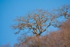 Leafless tree. Against a blue skyn Stock Photos