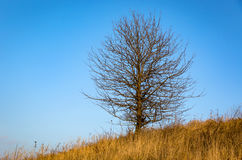 Leafless tree on autumn meadow against blue sky Royalty Free Stock Photography