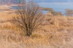 Leafless tree on bank of lake. Landscape of leafless tree on the bank of a lake among tall golden grasses on a sunny early spring morning stock photography