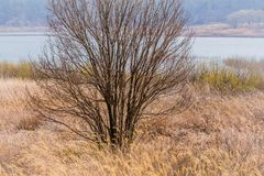 Leafless tree on bank of lake. Landscape of leafless tree on the bank of a lake among tall golden grasses on a sunny early spring morning royalty free stock photo