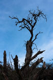 Leafless tree with blue bright sky at background. In Ijen Crater, East Java, Indonesia Royalty Free Stock Images