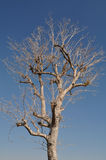Leafless tree. With the blue sky Royalty Free Stock Image