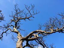 Leafless tree. Royalty Free Stock Images