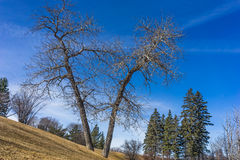 Leafless tree with blue sky background Royalty Free Stock Images
