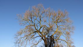 Leafless Tree With Blue Sky. In sunny day on Usedom island Germany royalty free stock images