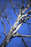 Leafless tree braches Stock Images