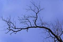 Leafless Tree Branch Royalty Free Stock Photography