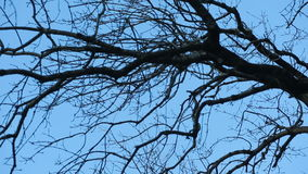 Leafless tree branch against blue sky stock video