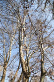 Leafless tree branches against the blue sky.  royalty free stock photos