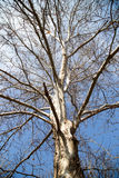 Leafless tree branches against the blue sky.  royalty free stock image
