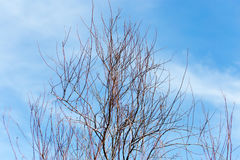 Leafless tree branches against the blue sky.  stock image