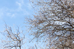 Leafless tree branches against the blue sky.  royalty free stock photo