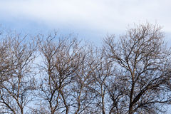 Leafless tree branches against the blue sky.  stock photography