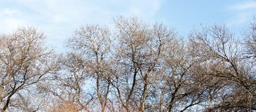 Leafless tree branches against the blue sky.  royalty free stock photography