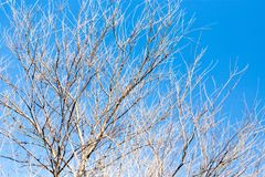 Leafless tree branches against the blue sky Royalty Free Stock Photos