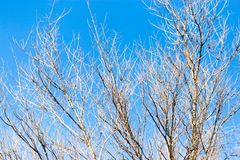 Leafless tree branches against the blue sky Royalty Free Stock Image