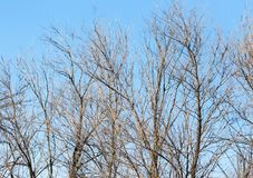 Leafless tree branches against the blue sky stock image