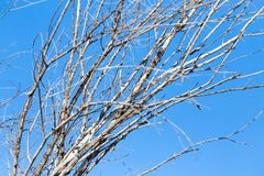Leafless tree branches against the blue sky Stock Images