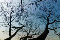Leafless tree branches in winter season. Leafless tree branches of winter season, season specific image of nature. Image shot at Kolkata, Calcutta, West Bengal Royalty Free Stock Images