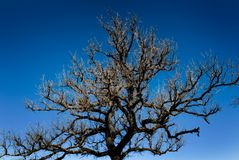 Leafless tree on a bright blue sky Royalty Free Stock Image