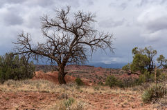 Leafless tree in Capitol Reef National Park Stock Image