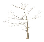 Leafless tree Royalty Free Stock Image