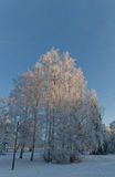 Leafless tree covered with frost Stock Photography