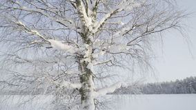 A leafless tree covered with thick snow. The forest is covered with thick snow during the winter season stock footage