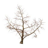 Leafless tree. Dried leafless tree isolated on white background royalty free stock photo