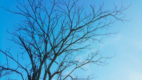 Leafless tree. Dry tree in blue sky Royalty Free Stock Photo